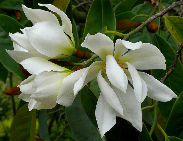 Michelia Excelsa Tree 10 Seeds, Very Fragrant Temple Magnolia Doltsopa