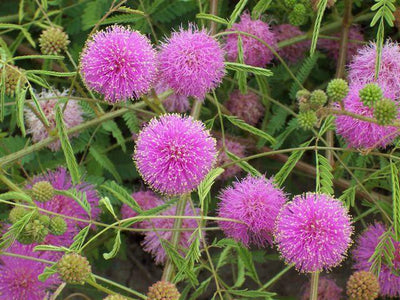 Mimosa Pudica 50 Seeds, The Sensitive Plant, Touch Me Not Herb, Tickle It
