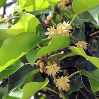 Mimusops Elengi Tree 15 Seeds, Fragrant Spanish Cherry, Indian Medlar Bakul