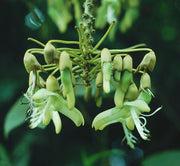Mucuna Holtonii Vine Seed, Central / South American Woody Creeper, Sea Bean