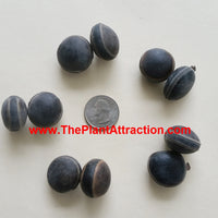 Mucuna Sloanei Seed, South American Rare Gold Jade Vine, Hamburger Sea Bean