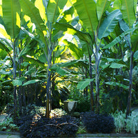 Musa Balbisiana Atia Black 10 Seeds, Cold Hardy Thai Banana Garden Fruit Tree
