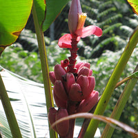 Musa Velutina Hairy Pink Ornamental Banana Fruits 10 Seeds, Hardy