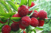 Myrica Rubra 8 Seeds, Chinese Strawberry Edible Fruit Tree Japanese Bayberry
