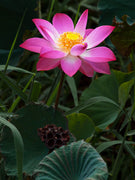 Nelumbo Nucifera 5 Seeds, Fun Aquatic Pond, Pink Lotus