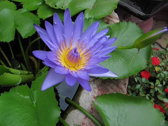 BLUE Lotus Nymphaea Nouchali Asian WATER LILY Flower Pond Seeds