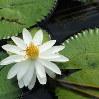 Nymphaea Pubescens White 15/500/2000 Seeds, Hairy Water Lily