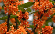 Osmanthus Fragrans Orange 5 Seeds, Fragrant Sweet Olive Tree Shrub, Cold Hardy
