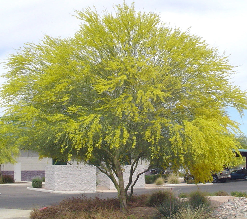 Parkinsonia Aculeata 20 100 500 Seeds Mexican Palo Verde Tree Jerusa The Plant Attraction