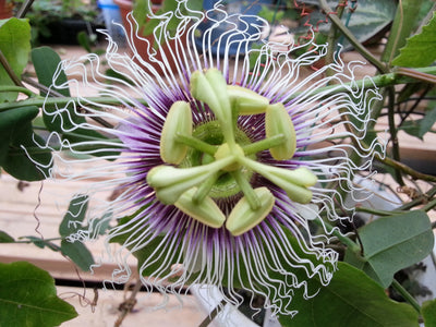 Passiflora Edulis Golden Giant Vine 10 Seeds, Perennial Passion Fruit Climber