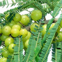 Phyllanthus Emblica Tree 15/100/500 Seeds, Medicinal Indian Gooseberry, Edible Amla Fruit