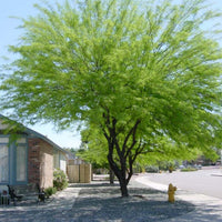 Prosopis Chilensis Shade Tree 8 Seeds, Chilean Mesquite Fodder
