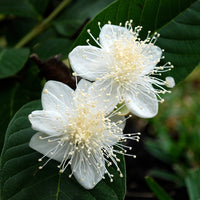 Psidium Guajava 30/300/1800/5400 Seeds, Fragrant Apple Guava Fruit Tree Shrub
