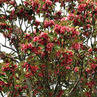 Rhodoleia Championii 25/250/500 Seeds, Rare Protected Shrub Tree Hong Kong Rose