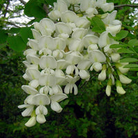 Robinia Pseudoacacia Tree 50/150/300/1000 Seeds Fragrant Cold Hardy Black Locust