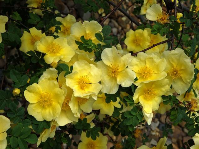 Rosa Xanthina 30-1500 Seeds, Fragrant Wild Manchu Yellow Rose Shrub