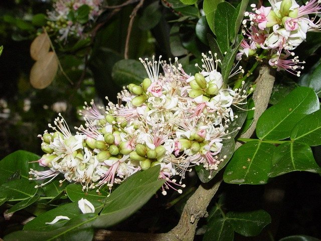 Schotia Latifolia African Tree 5 Seeds, Gorgeous Bush Boer Bean
