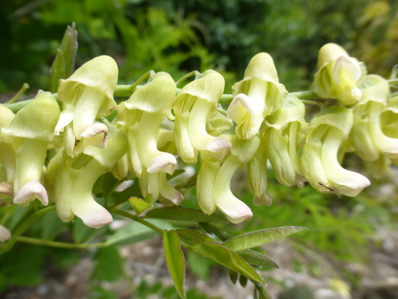 Sophora Flavescens 25/100/500 Seeds, Chinese Dwarf Medicinal Herb Shrub Bush