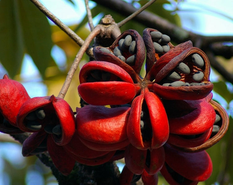 Sterculia Foetida Tree 5 Seeds, Java Olive, Wild Indian Almond