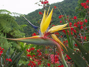 Strelitzia Reginea Seeds, Rare Mandela's Gold Bird Of Paradise Perennial