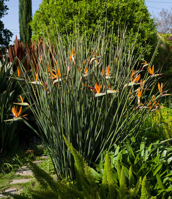 Strelitzia Juncea 3 Seeds, Crane Flower Bird Of Paradise Evergreen Perennial