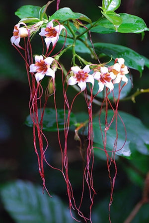 Strophanthus Petersianus Shrub 6 Seeds, Sand Forest Poison Rope Bush