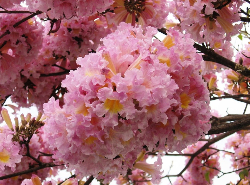 Tabebuia Rosea Tree 15 Seeds Pink Poui Flowering Garden