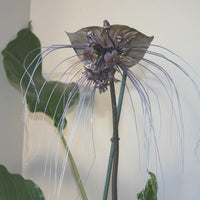 Tacca Chantrieri 10 Seeds, The Black Bat Plant