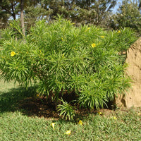 Thevetia Peruviana 4 Seeds, Shrub Or Small Tree, Fragrant Yellow Oleander