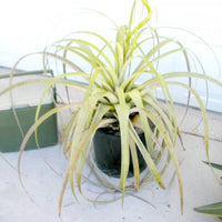 Tillandsia Utriculata 30/100/500/1000 Seeds, Giant Wild Pine, Endangered Air Plant
