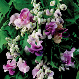 Vigna Caracalla 4 Seeds, Very Fragrant Corkscrew Climbing Vine