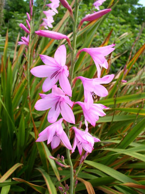 Watsonia Borbonica (pink) 15 Seeds, Cape Bugle Bulb, Lily Garden Plants