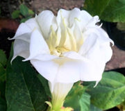 Datura Double White 10 Seeds, Devil's Trumpet, Horn of Plenty