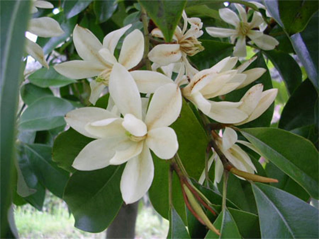 Michelia Macclurei Rare Magnolia Tree 8/100 Seeds, Fragrant Evergreen