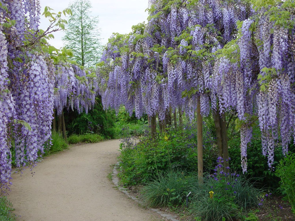 Wisteria Sinensis 6 Seeds Fragrant Flowering Hardy Chinese