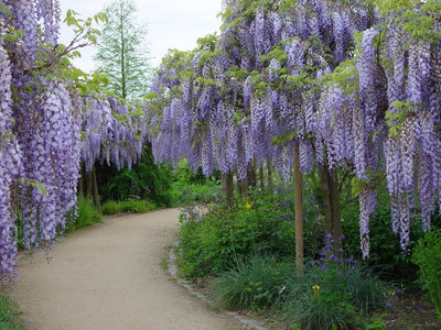 Wisteria Sinensis 6 Seeds, Fragrant Hardy Climber Vine Bonsai Tree