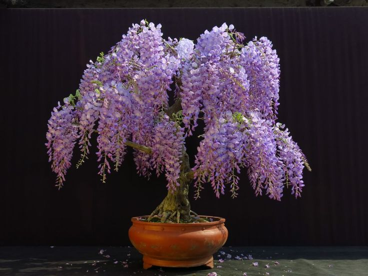 Wisteria Sinensis 6 Seeds Fragrant Flowering Hardy Chinese Climber Vi The Plant Attraction
