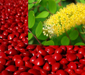 Adenanthera Pavonina 10 Seeds, Red Sandalwood, Saga Seed, Coral Tree