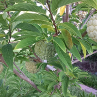 Annona Squamosa 10 Seeds, Sugar Custard Apple Sweetsops Fruit Tree Shrub