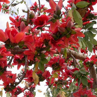 Bombax Ceiba Tree 20/80/350/800 Seeds , Red Silk Cotton Kopak