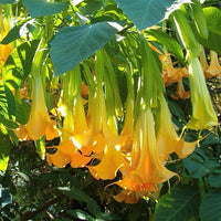 Brugmansia Pumpkin Yellow 5 Seeds, Angel Trumpet Shrub Small Tree