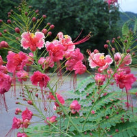 Caesalpinia Pulcherrima Pink 7 Seeds, Shrub or Tree, Great For Smaller Yards
