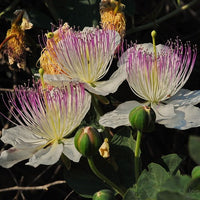 Capparis Spinosa 20 Seeds, Edible Caper Bush, Flinders Rose Shrub