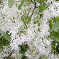 Chionanthus Virginicus Shrub Tree 10/100 Seeds, Cold Hardy Fragrant Fringe, Grancy Greybeard
