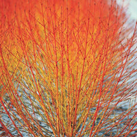 Cornus Sanguinea 20/250/1000 Seeds, Dogwood Midwinter Fire