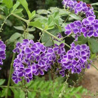 Duranta Erecta Repens Shrub Tree 20 Seeds
