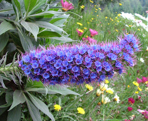 Echium Candicans 15 Seeds, Perennial Shrub or Garden Bush