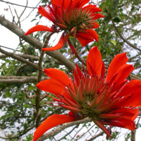 Erythrina Arborescens Tree 6/100 Seeds, Great For Smaller Yards and Gardens!