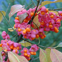 Euonymus Europaea Tree or Shrub, 15/100 Seeds, Cold Hardy European Spindle
