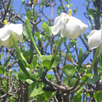Gardenia Volkensii ssp Spathulifolia 6 Seeds, Fragrant Shrub Or Small Tree
